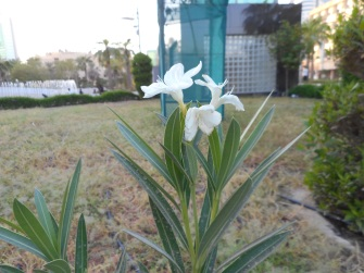 """When I see this flower in Kuwait, I remember Siri Lanka, back home around we have too many flowers and nature so it makes me happy when I find it here. In my house back home, I have a big garden, with trees and all kinds of flowers, every time I go back on vacation I plant some more."" Rejaguru.1"